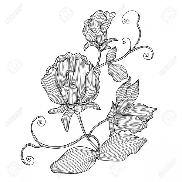 Elegant Decorative Sweet Pea Flowers, Design Element  Floral