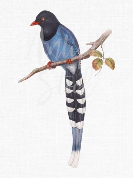 Bird Clipart Antique Image 'taiwan Blue Magpie'