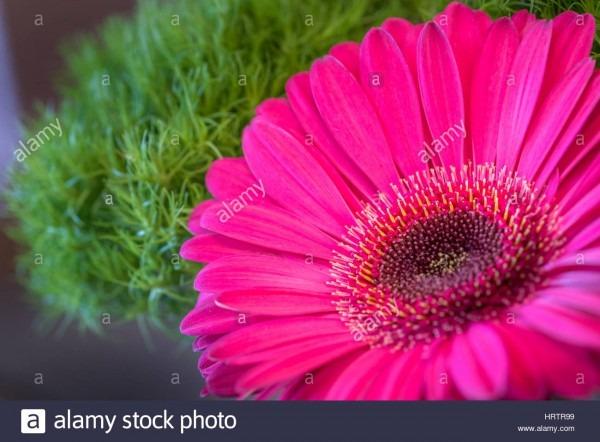 Closeup Of A Fresh Pink Gerbera Daisy Flower On A Green Spring