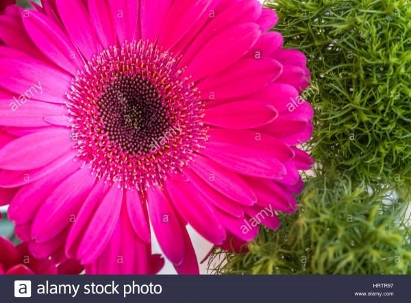 Closeup Of A Pink Gerbera Daisy Flower On A Green Spring